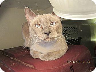 Siamese Cat for adoption in Long Beach, California - Amia