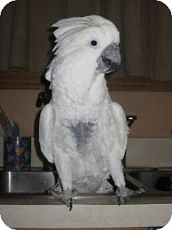 Cockatoo for adoption in Northbrook, Illinois - Lemon