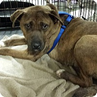 Terrier (Unknown Type, Medium)/American Pit Bull Terrier Mix Dog for adoption in Alexis, North Carolina - Brenda