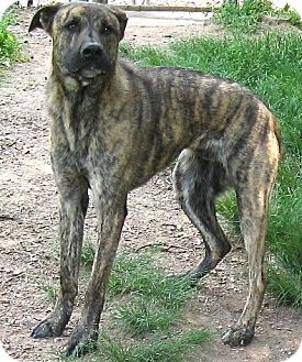 Catahoula Leopard Dog/Great Dane Mix Dog for adoption in Tahlequah, Oklahoma - Blue