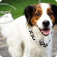 Adopt A Pet :: Bernard - Kansas City, MO