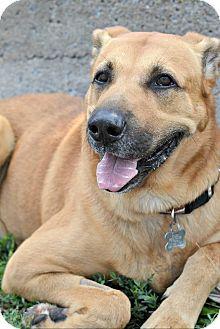 German Shepherd Dog/Labrador Retriever Mix Dog for adoption in Linden, New Jersey - OZZY