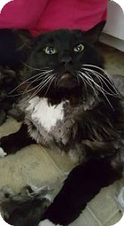Domestic Longhair Cat for adoption in Anchorage, Alaska - Napoleon