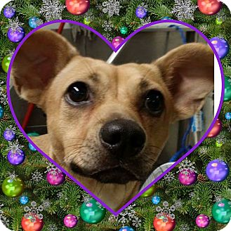 Chihuahua/Terrier (Unknown Type, Medium) Mix Dog for adoption in St. john, Indiana - Meatball