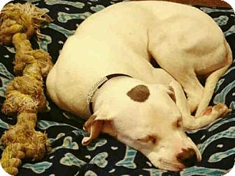 American Bulldog Mix Dog for adoption in Louisville, Kentucky - PARIS