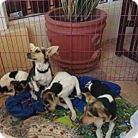 Adopt A Pet :: Stella - Lighthouse Point, FL