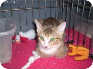 Calico Cat for adoption in McDonough, Georgia - Ginny Belle