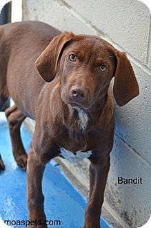 Redbone Coonhound Mix Puppy for adoption in Danielsville, Georgia - Bandit - In Training