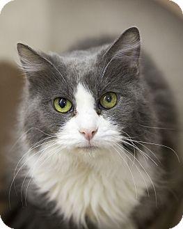 Domestic Mediumhair Cat for adoption in Germantown, Ohio - Sheeba
