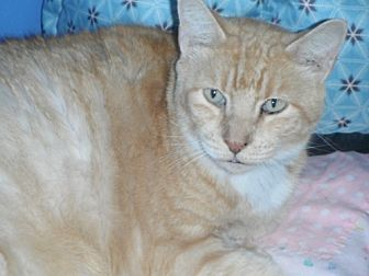 Domestic Shorthair Cat for adoption in oakland park, Florida - Garfield