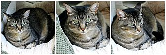 Domestic Shorthair Cat for adoption in Forked River, New Jersey - Sepia