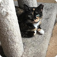 Calico Cat for adoption in St. Paul, Minnesota - Joon and Benny