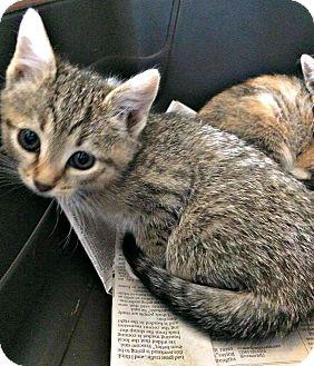 Domestic Shorthair Kitten for adoption in Jefferson, North Carolina - Janet