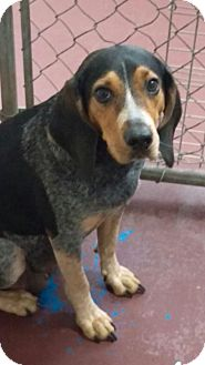 Coonhound Mix Dog for adoption in Newburgh, Indiana - Mabeline
