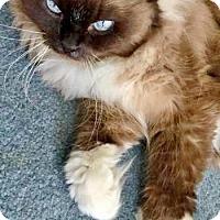 Adopt A Pet :: Shyla - Davis, CA