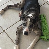 Adopt A Pet :: Candie - Flower Mound, TX