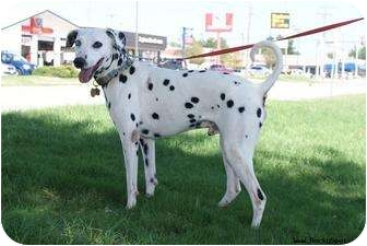 Dalmatian Mix Dog for adoption in Newcastle, Oklahoma - Tebow