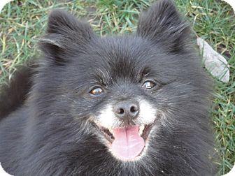 Pomeranian Mix Dog for adoption in Santa Rosa, California - Oso