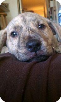 Shepherd (Unknown Type)/Labrador Retriever Mix Puppy for adoption in Gainesville, Florida - Hurley
