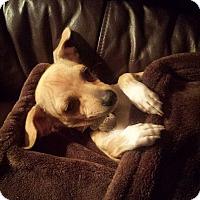 Chihuahua Mix Dog for adoption in Peoria, Arizona - Alfie