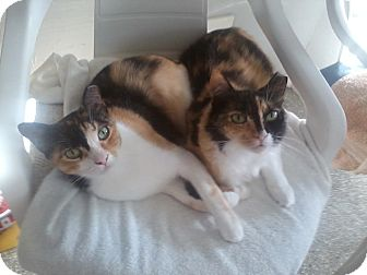 American Shorthair Cat for adoption in Ft Myers Beach, Florida - Two Sis in Need!!