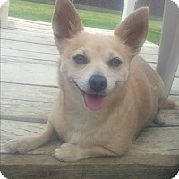 Adopt A Pet :: MUFFIN - New Windsor, NY