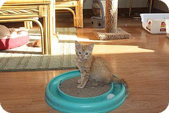 Domestic Shorthair Kitten for adoption in St. Louis, Missouri - Tyson