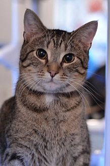 Domestic Shorthair Cat for adoption in Geneseo, Illinois - Roxanne