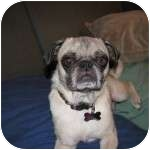 Pug Dog for adoption in Windermere, Florida - Princess Leia