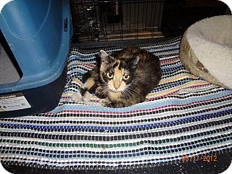 Calico Cat for adoption in Saint Albans, West Virginia - Kim