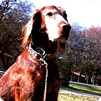 Adopt A Pet :: Isabell - Aledo, TX