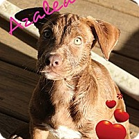 Adopt A Pet :: Azalea - New Boston, MI