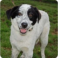 Adopt A Pet :: Gorgy - White Plains, NY