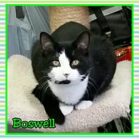 Adopt A Pet :: Boswell - Atco, NJ