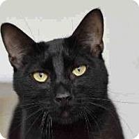 Domestic Shorthair Cat for adoption in Austin, Texas - Austin
