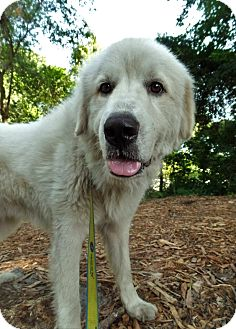 Great Pyrenees Mix Dog for adoption in Savannah, Georgia - Sammy