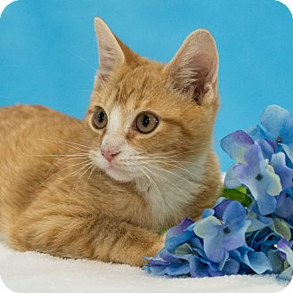 Domestic Shorthair Kitten for adoption in Houston, Texas - Scooba