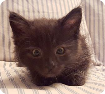 Domestic Mediumhair Kitten for adoption in St. Louis, Missouri - Wolfy
