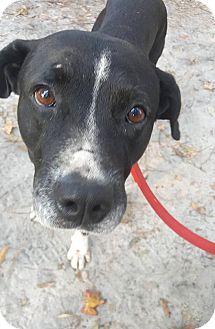 Labrador Retriever Mix Dog for adoption in Savannah, Georgia - Murray