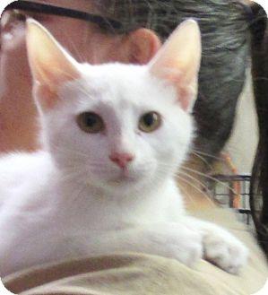 Domestic Shorthair Kitten for adoption in Reeds Spring, Missouri - Frost