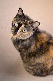 Domestic Shorthair Cat for adoption in Atlanta, Georgia - Angelica 10144