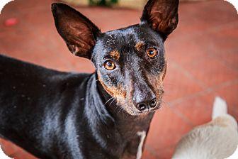 Dachshund Mix Dog for adoption in Houston, Texas - Docster