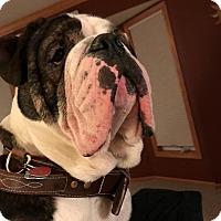 English Bulldog Dog for adoption in Decatur, Illinois - Tyson