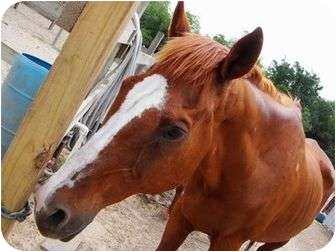 Thoroughbred for adoption in Hitchcock, Texas - MT-Copper
