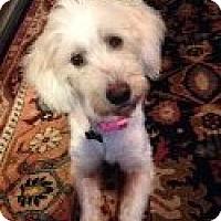 Adopt A Pet :: Gidget - Grafton, MA