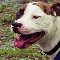 American Pit Bull Terrier Mix Dog for adoption in Shelbyville, Tennessee - Hugo