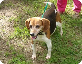 Beagle Mix Dog for adoption in Dumfries, Virginia - Shelby