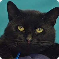 Domestic Shorthair Cat for adoption in Visalia, California - Biscuit