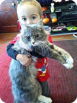 Maine Coon Cat for adoption in Acushnet, Massachusetts - Hazel