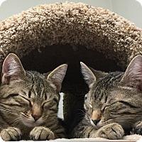 Adopt A Pet :: Tigger - Manchester, CT